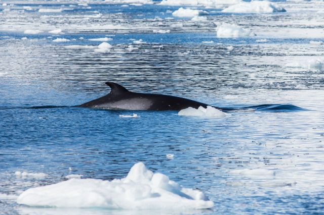 ArcticWhale