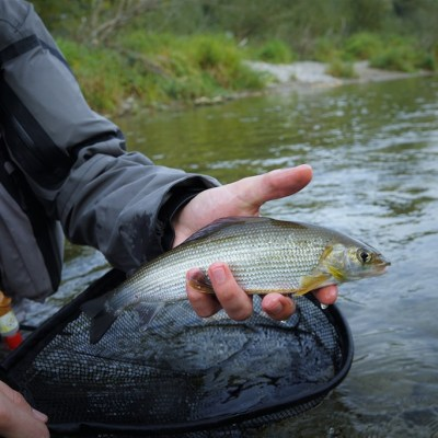 Golden grayling