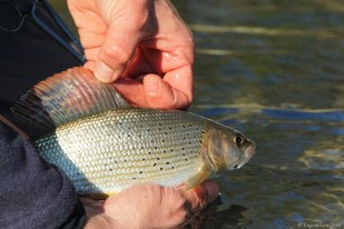 Gorgeous grayling in Switzerland