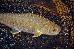 Caught a small Mahseer in Thailand but what a fight. Southern Thailand. ExpediTom. Travel. Fly Fishing Photography