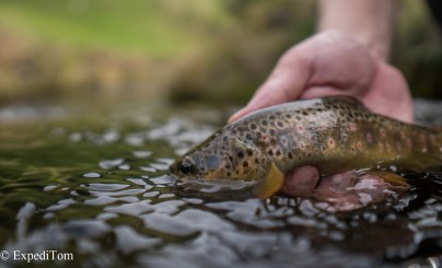 Wonderful brown trout
