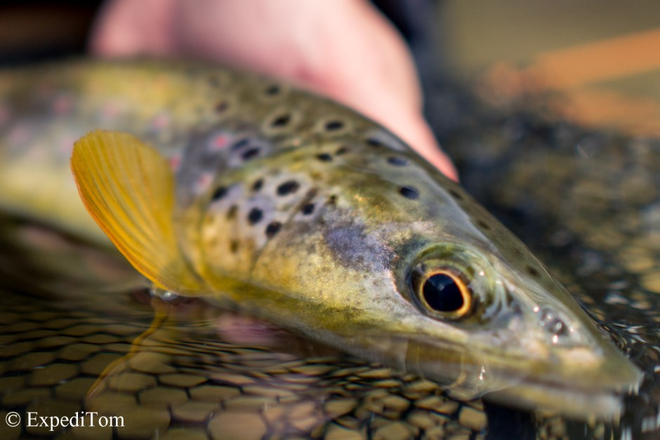 Brown Trout from a Swiss Jura mountain stream caught while euro-nymphing