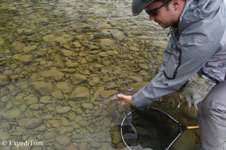 Release of a strong rainbow trout