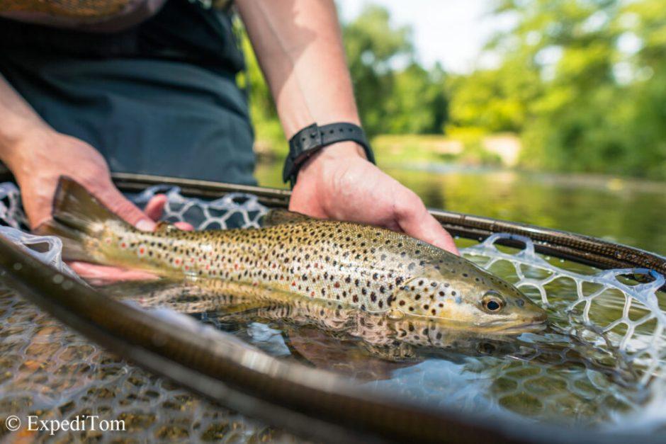 Wonderful brown trout from Switzerland