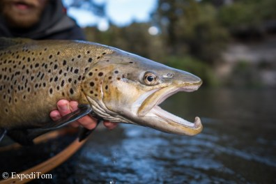 Stunner of a brown trout