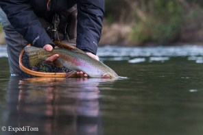 Tongariro rainbow trout
