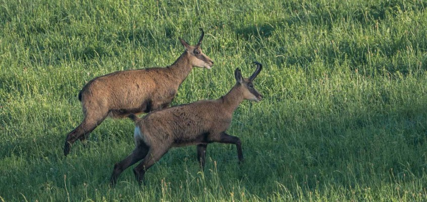 Stalking Chamois in the Jura mountains