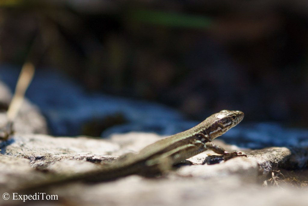 Wildlife observation of lizards