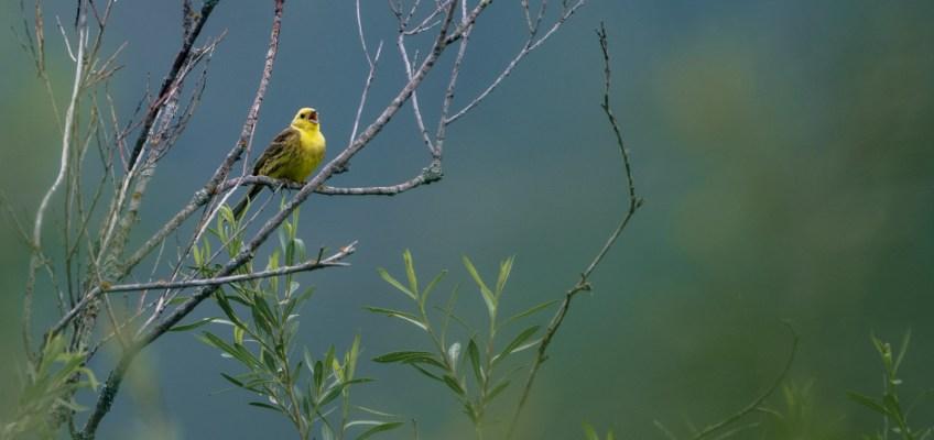 The yellowhammer (Emberiza citrinella)