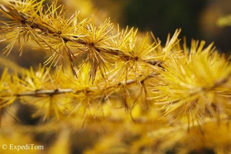 Golden larch tree
