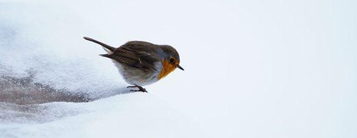 Robin in plain sight
