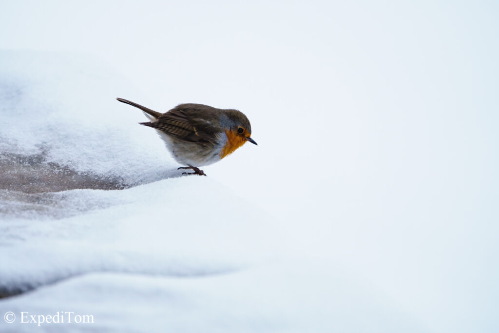 Winter wildlife allows for great subject isolation in snow