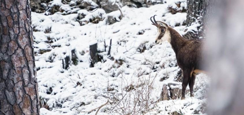 Winter Wildlife Jura Mountains, Switzerland