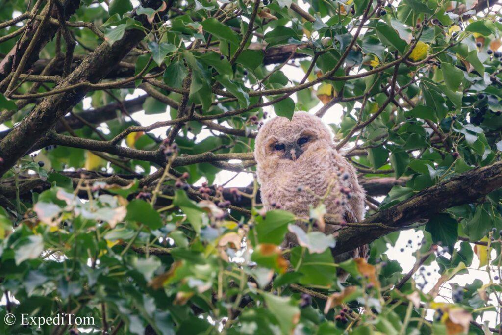 Tawny owl baby with blood on its beak