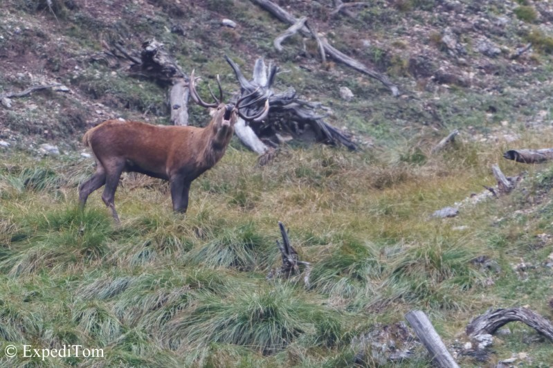 Massive stag roaring for female attention in the Swiss National Park