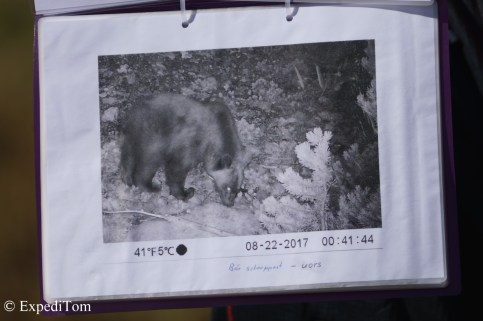 Brown bear in Swiss National Park