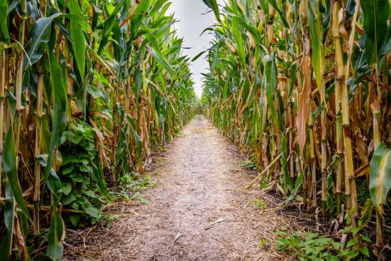 Looking down a path of a  corn maze with bright green leaves and yellow stalks.