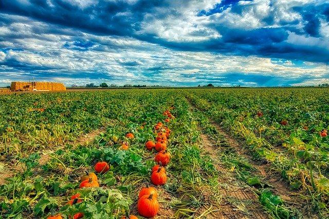Pumpkin Farm under beautiful blue sky with clouds