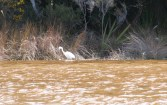 Great white heron, Okarito lagoon