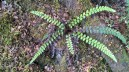Button fern