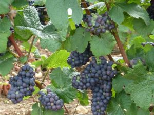 Take the time to smell the ripening grapes