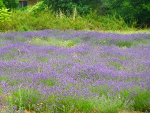 Lavender fields of the Luberon