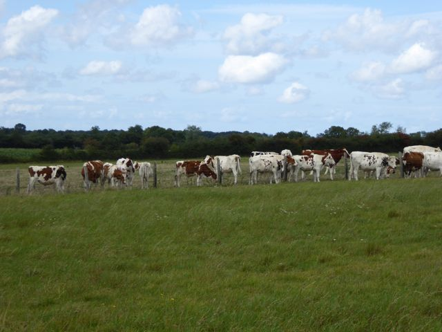 Famous Normandy cows