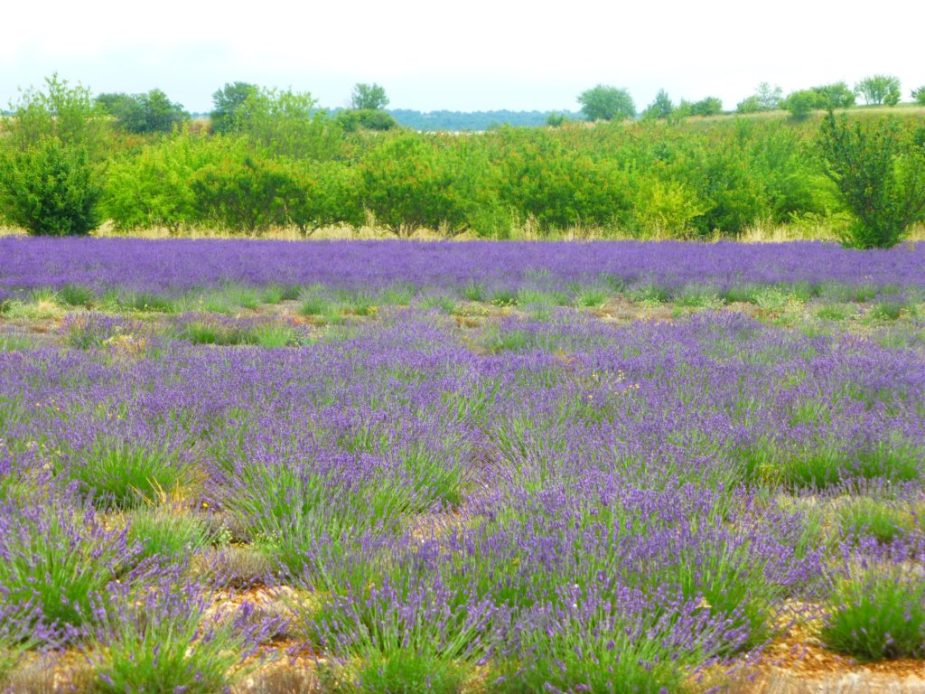 The scent of lavender fills the air along the bicycle route