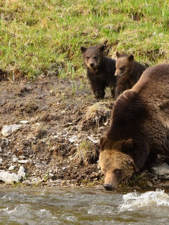 Guided Yellowstone Tours