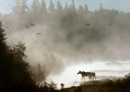 Two moose in morning mist