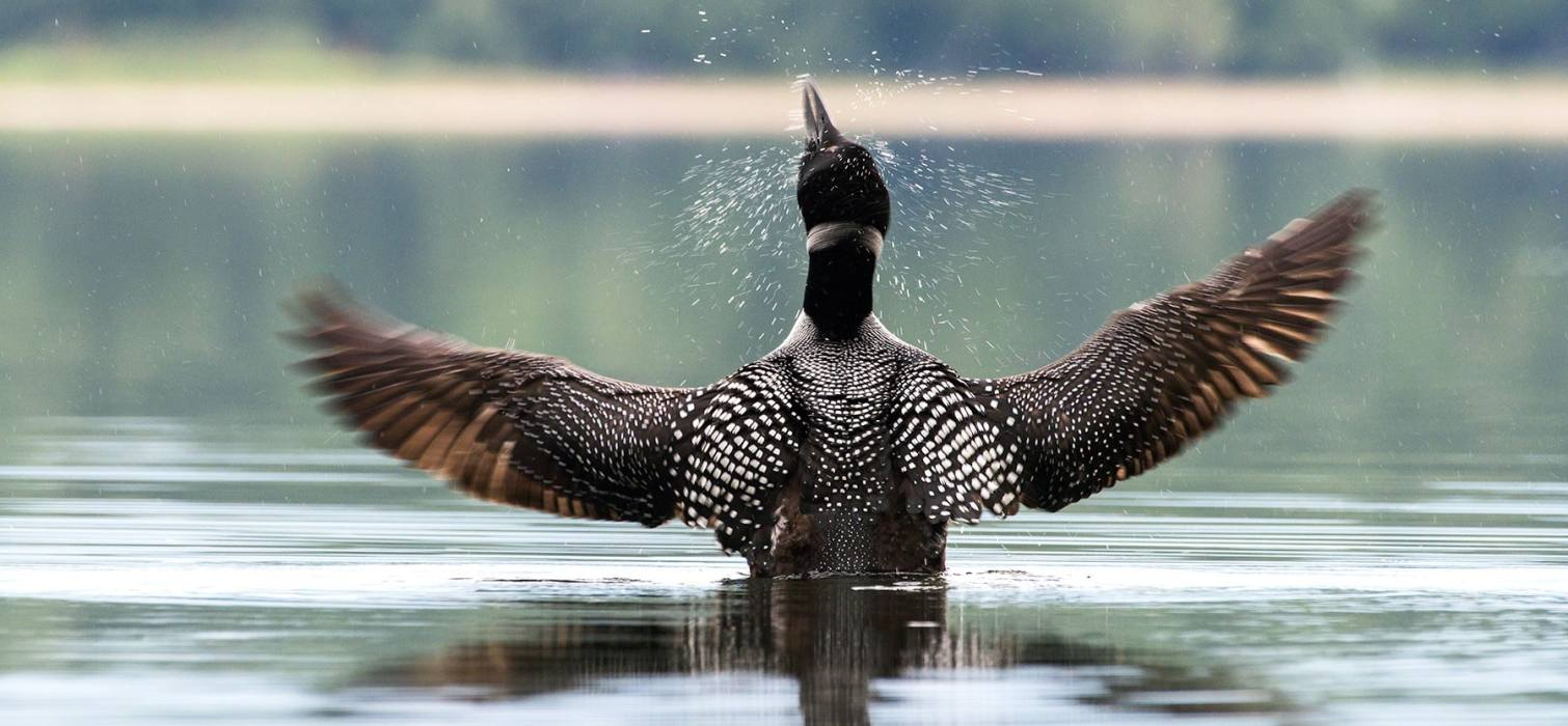 Loon spreading wings, Saddleback Lake, Rangeley, Maine
