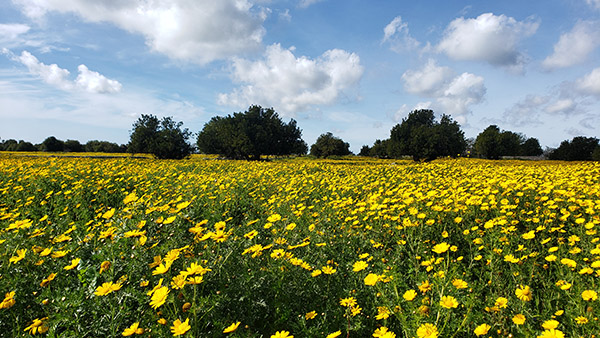 Yellow daises in springtime in a field in southeastern Sicily (Photo by Allison Scola).