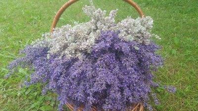 Lavendel-Fields-Lavender-Web
