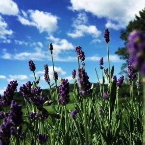 Pasto-Lavender-Farm-Lavender-Tioga