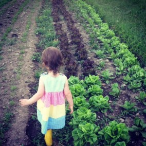 lettuce-fields