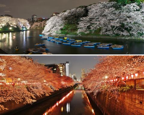 Comapring Chidorigafuchi and Meguro River Cherry blossoms