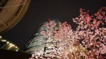 Cherry Blossoms 2016 : Roppongi Hills is now in full bloom
