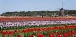 Not Netherlands : Sakura Tulip Festa in Chiba Prefecture