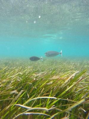 gräsmedfisk