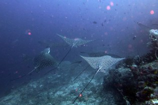 Guraido-South-Corner-Spotted-Eagle-Ray2