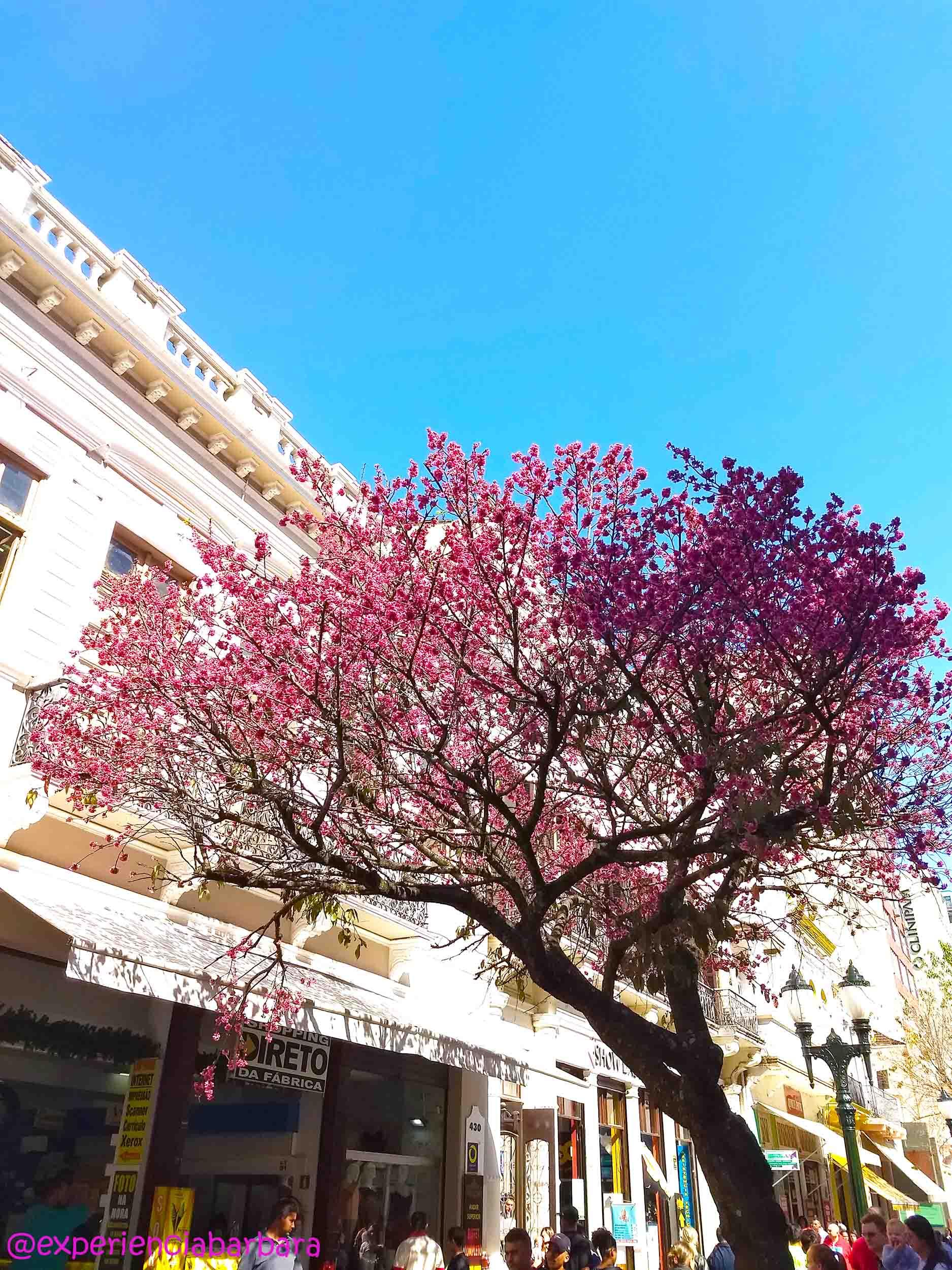 Cerejeira na Rua XV de Novembro em Curitiba