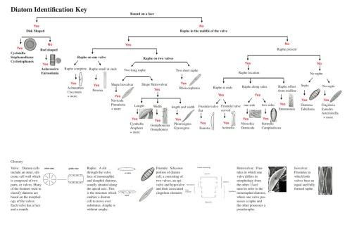 small resolution of diatom key jpg