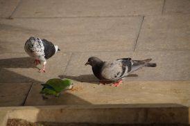 Papageien mischen die Tauben auf :)