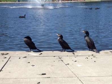 Three cormorants drying their wings at Heather Farm Park, Walnut Creek, CA