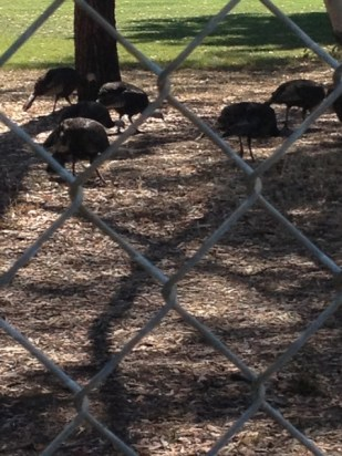 Wild turkeys thrive in the hills of Contra Costa County