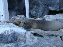 adorable Galapagos Fur Seals sleeping on the trail
