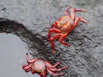 large and colorful crabs