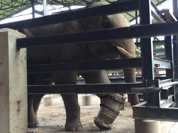 an elephant with a prosthetic