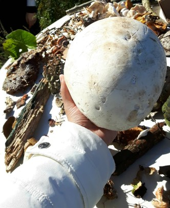 A giant puffball mushroom!