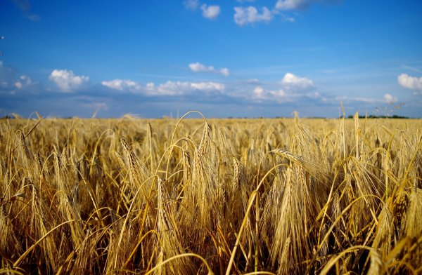 Wheatfield in summer